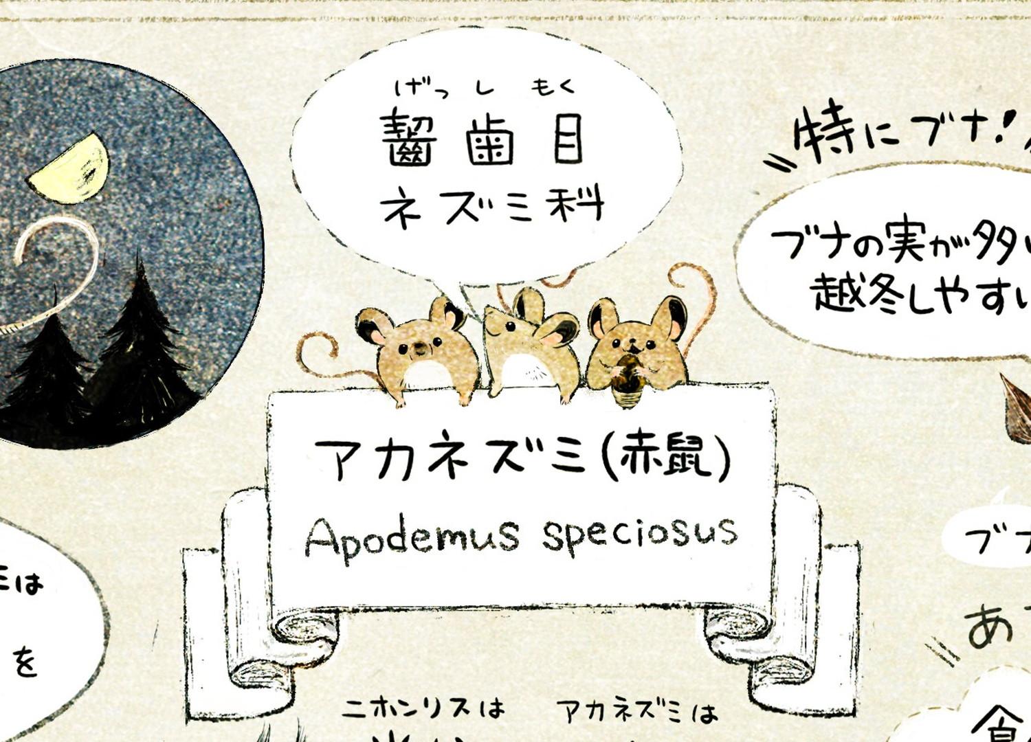 アカネズミ(赤鼠) 齧歯目ネズミ科 Apodemus speciosusの解説イラスト