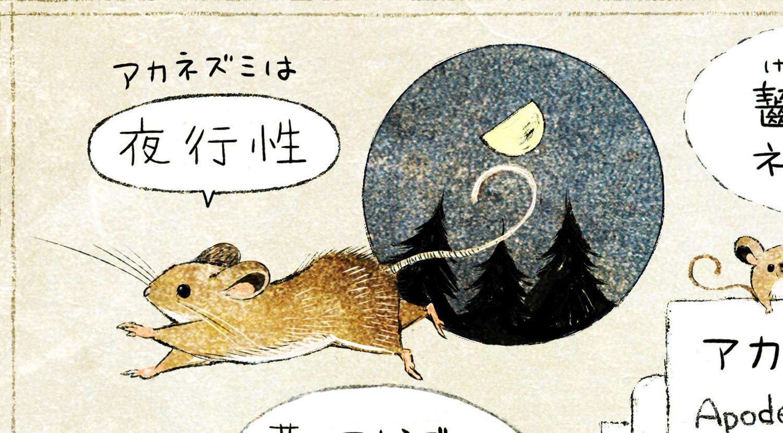 アカネズミは夜行性。夜に活動するネズミ