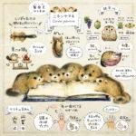 ニホンヤマネの生態解説イラスト ヤマネの体・足・食べもの dormouse