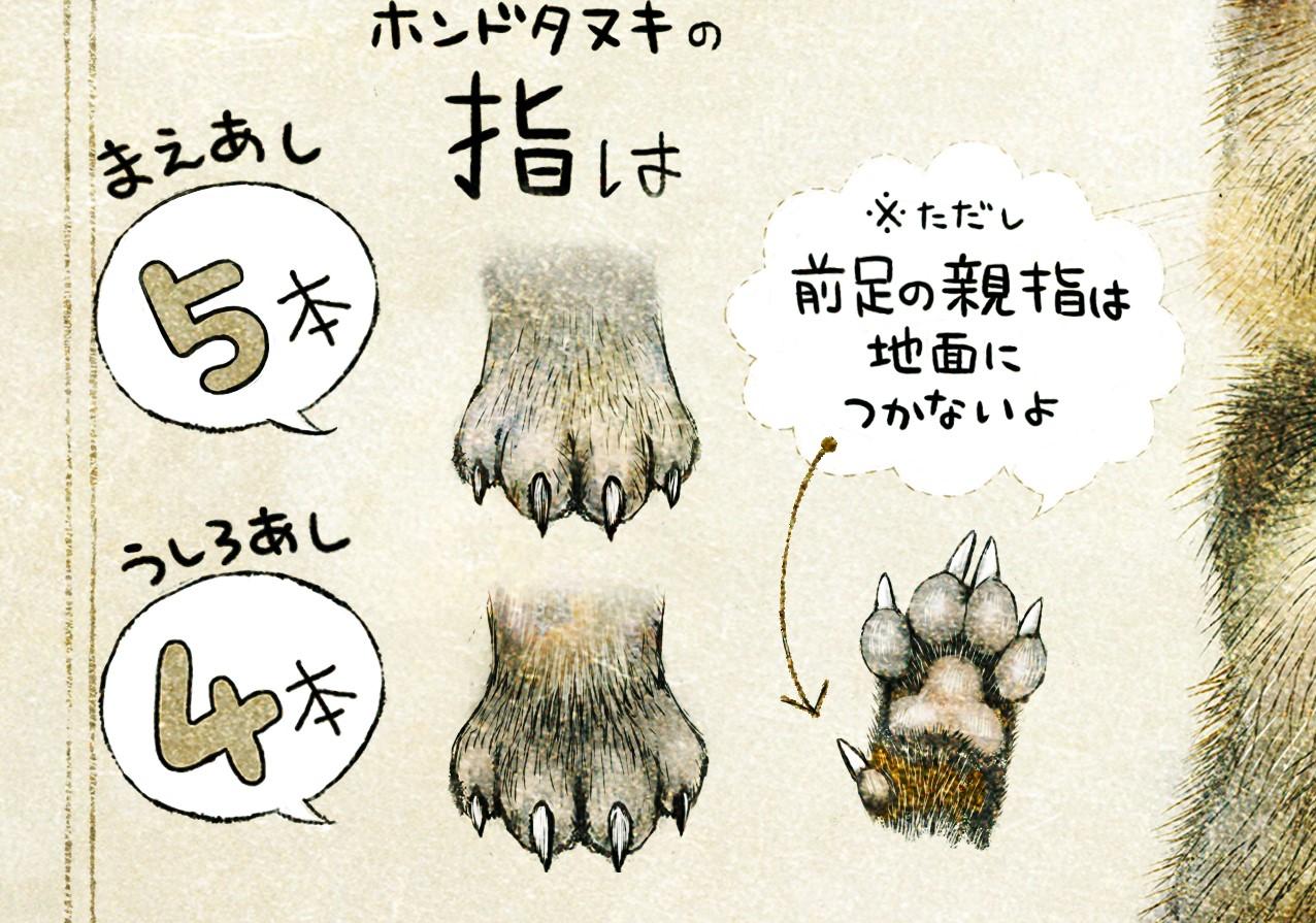 タヌキの足の指 前足4本、後足4本 ホンドタヌキの生態 イラスト解説