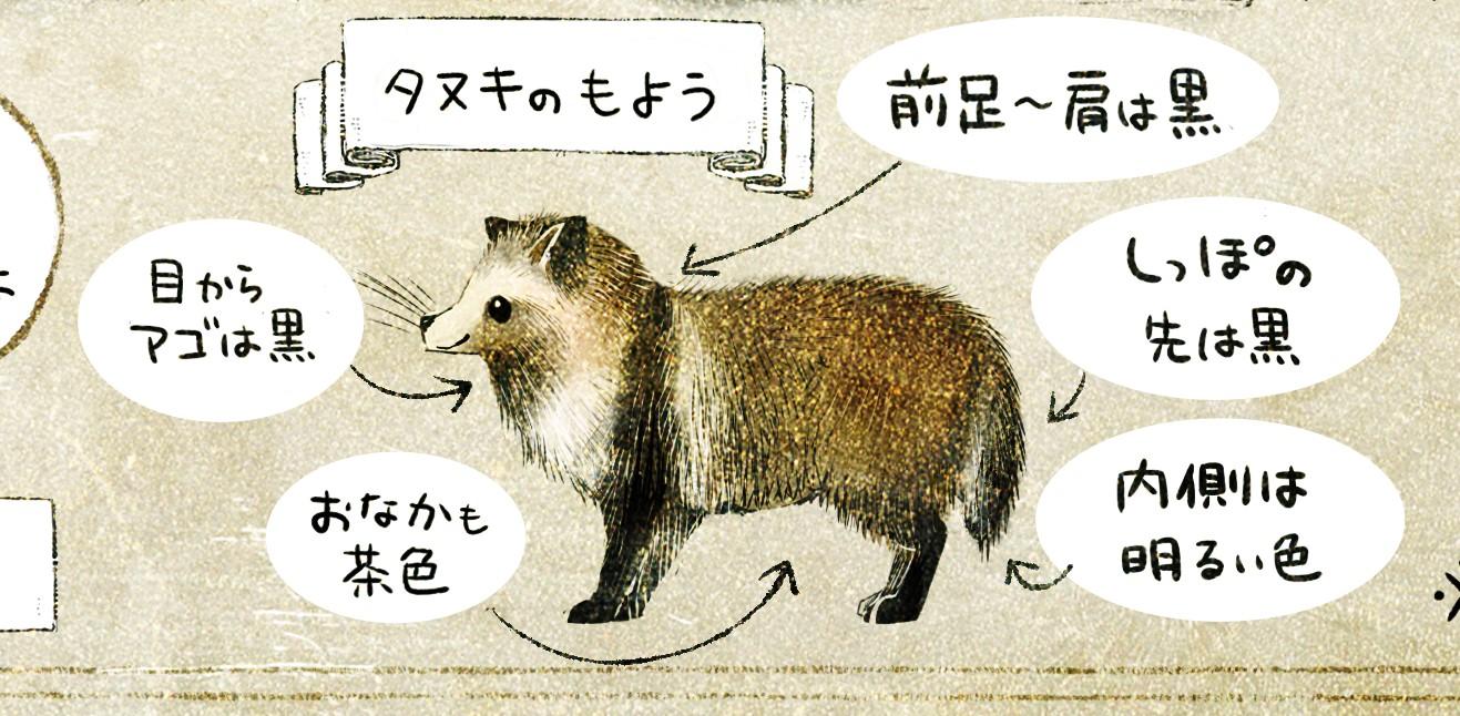 タヌキの体の色・模様 ホンドタヌキの生態 イラスト解説