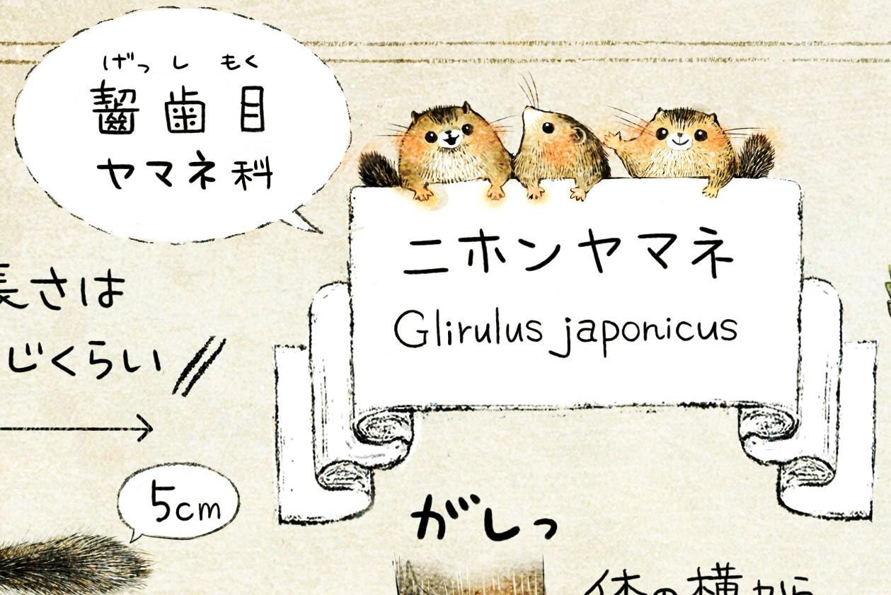ニホンヤマネの生態 イラスト解説 ヤマネは齧歯目ヤマネ科の生きもの。学名はGlirulus japonicus