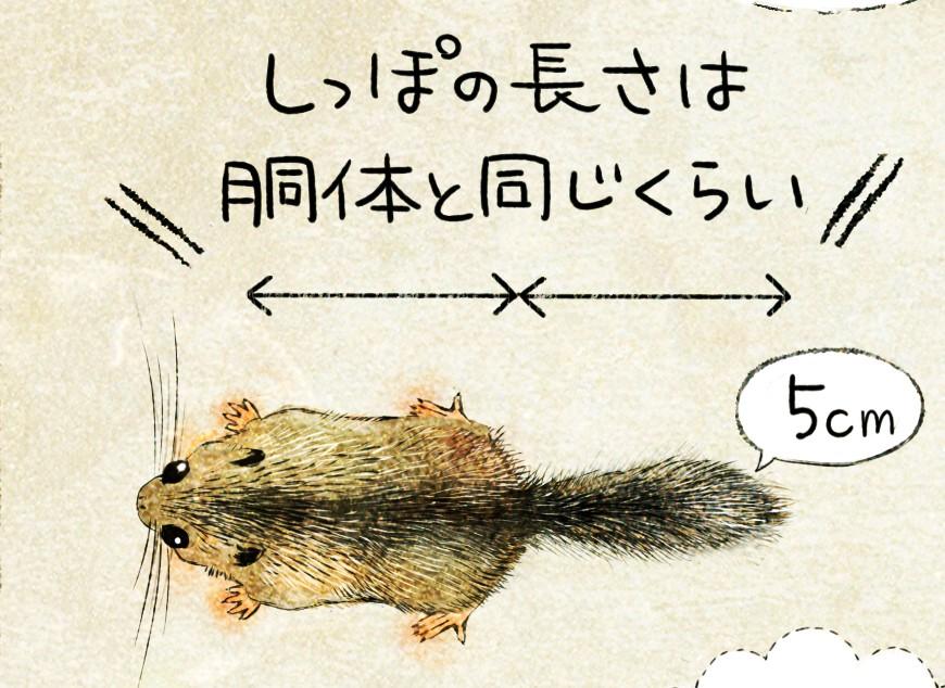 ニホンヤマネの生態 イラスト解説 ヤマネの大きさ しっぽの長さ