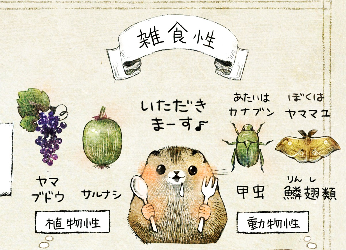 ニホンヤマネの生態 イラスト解説 ヤマネは雑食性。植物性だとヤマブドウやサルナシ、動物性だとカナブン(甲虫)、ヤママユ(蛾・鱗翅類)を食べるよ。
