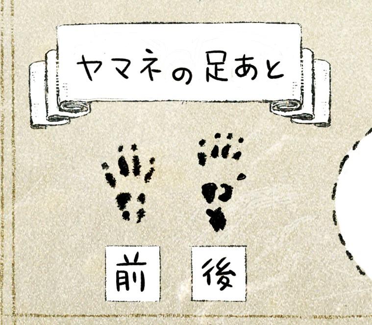 ニホンヤマネの生態 イラスト解説 ヤマネの足跡の形