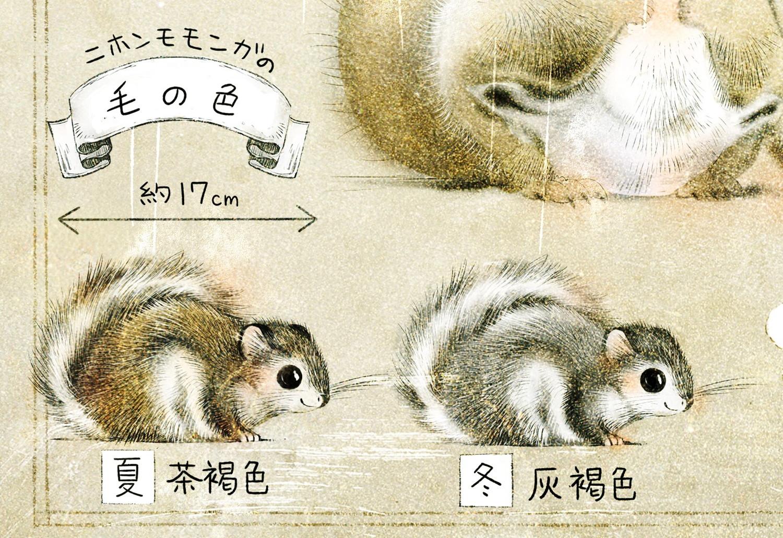 ニホンモモンガの生態 モモンガの大きさ 夏と冬の毛の色の違い
