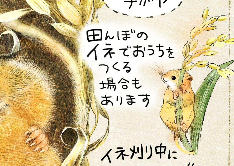 カヤネズミは田んぼのイネで、巣をつくる場合もあります。カヤネズミとは?イラスト解説