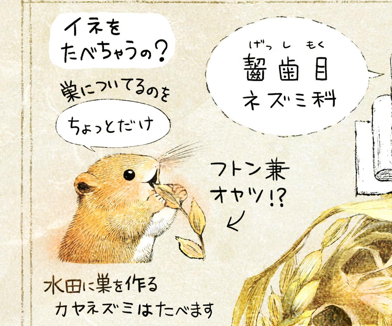 カヤネズミとは?イラスト解説 カヤネズミは稲を食べるか? 水田に巣を作るカヤネズミは、稲を少し食べる。