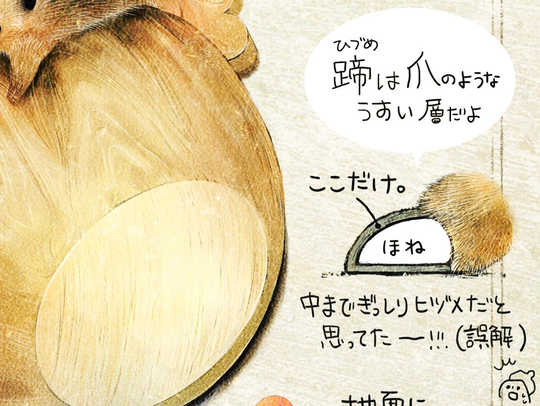 蹄とは爪のような薄い層 ニホンイノシシのイラスト イノシシの暮らし・生態の解説 Boar