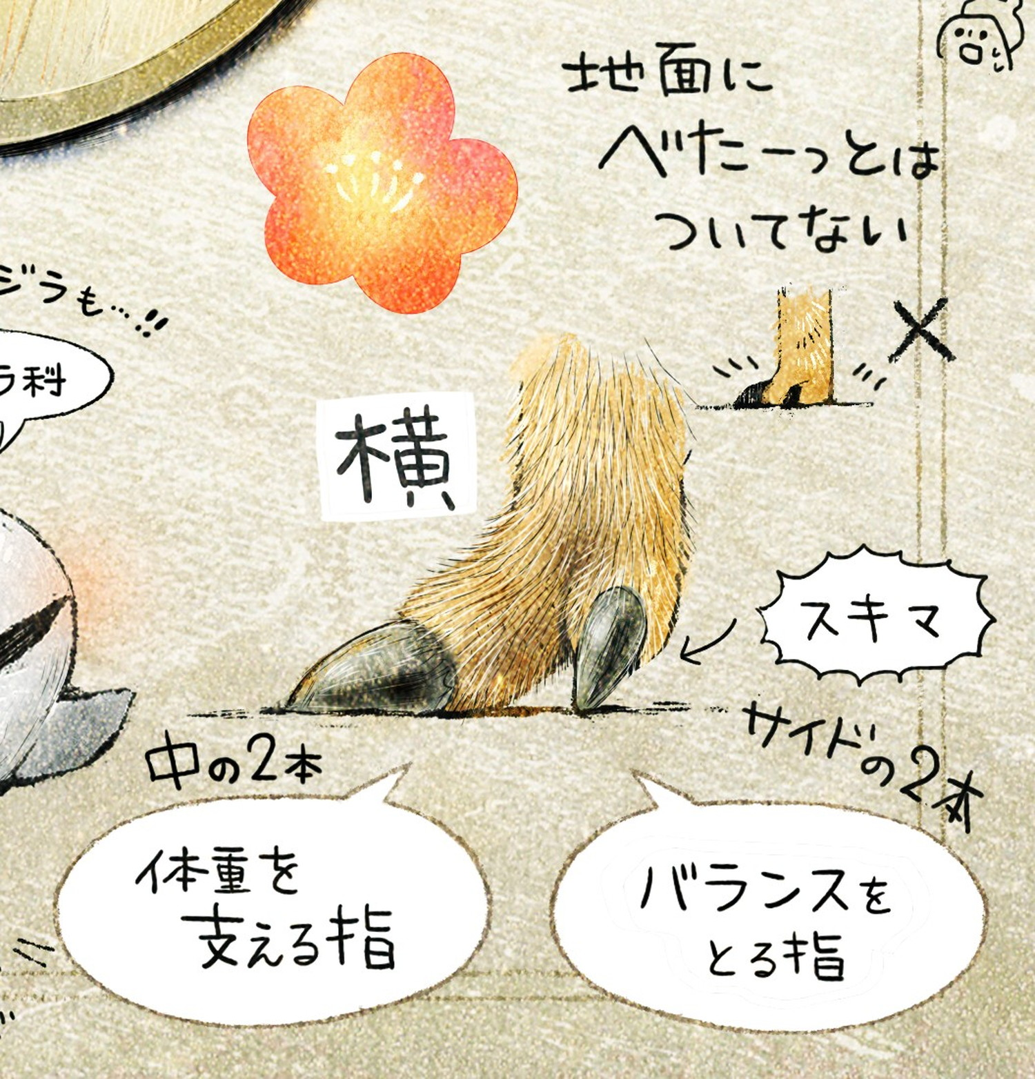 イノシシの蹄の解説 体重を支える指・バランスを取る指 ニホンイノシシのイラスト イノシシの暮らし・生態の解説 Boar