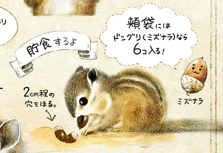 シマリスとドングリ エゾシマリスのイラスト シマリスの暮らし・生態の解説 chipmunk