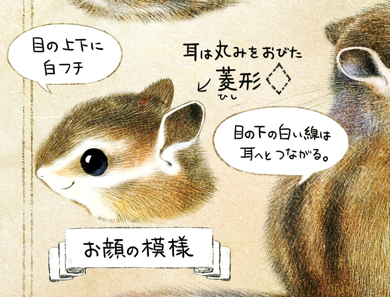 シマリスの顔の模様・特徴 エゾシマリスのイラスト シマリスの暮らし・生態の解説 chipmunk
