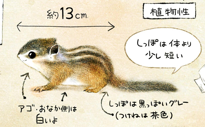 シマリスの大きさ・体調 毛の色・模様 エゾシマリスのイラスト シマリスの暮らし・生態の解説 chipmunk