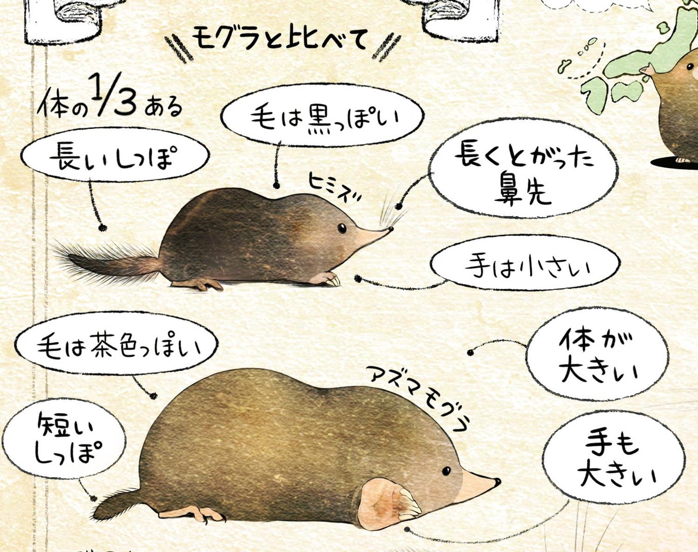 ヒミズの見分け方  ヒミズとモグラの体の特徴・比較【ヒミズ(shrew-mole)】動物の暮らし・生態の解説
