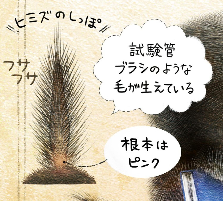 ヒミズのイラスト ヒミズのしっぽ・尾【ヒミズ(shrew-mole)】動物の暮らし・生態の解説