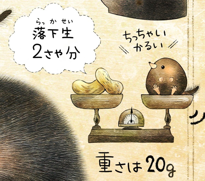 ヒミズのイラスト ヒミズの重さ・体重 【ヒミズ(shrew-mole)】動物の暮らし・生態の解説
